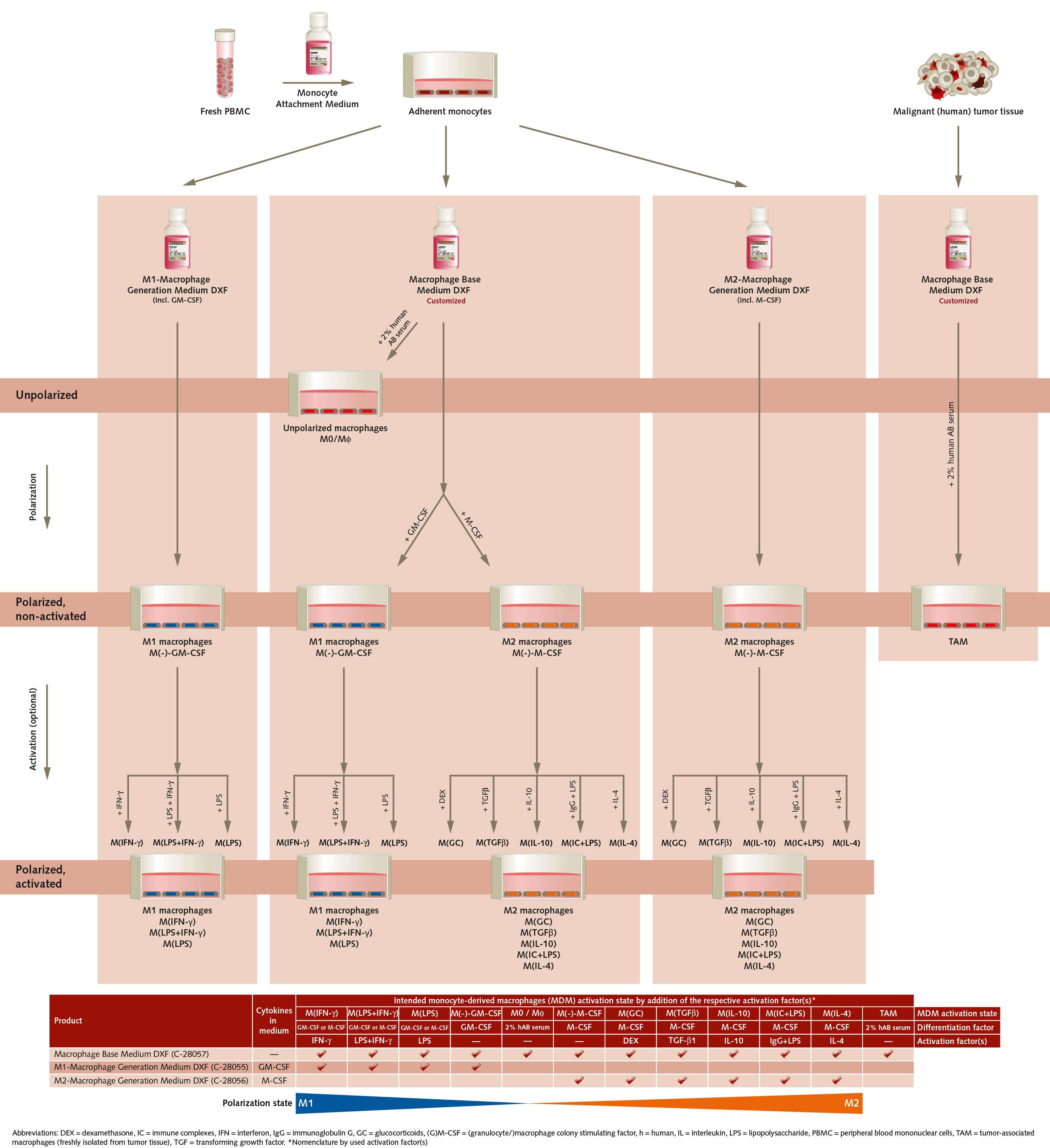 Macrophage Generation